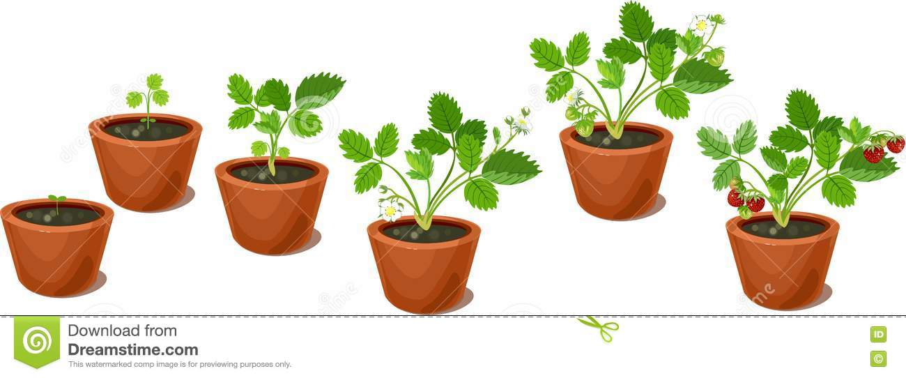 Strawberry Plant Growth Diagram Free Vehicle Wiring Diagrams
