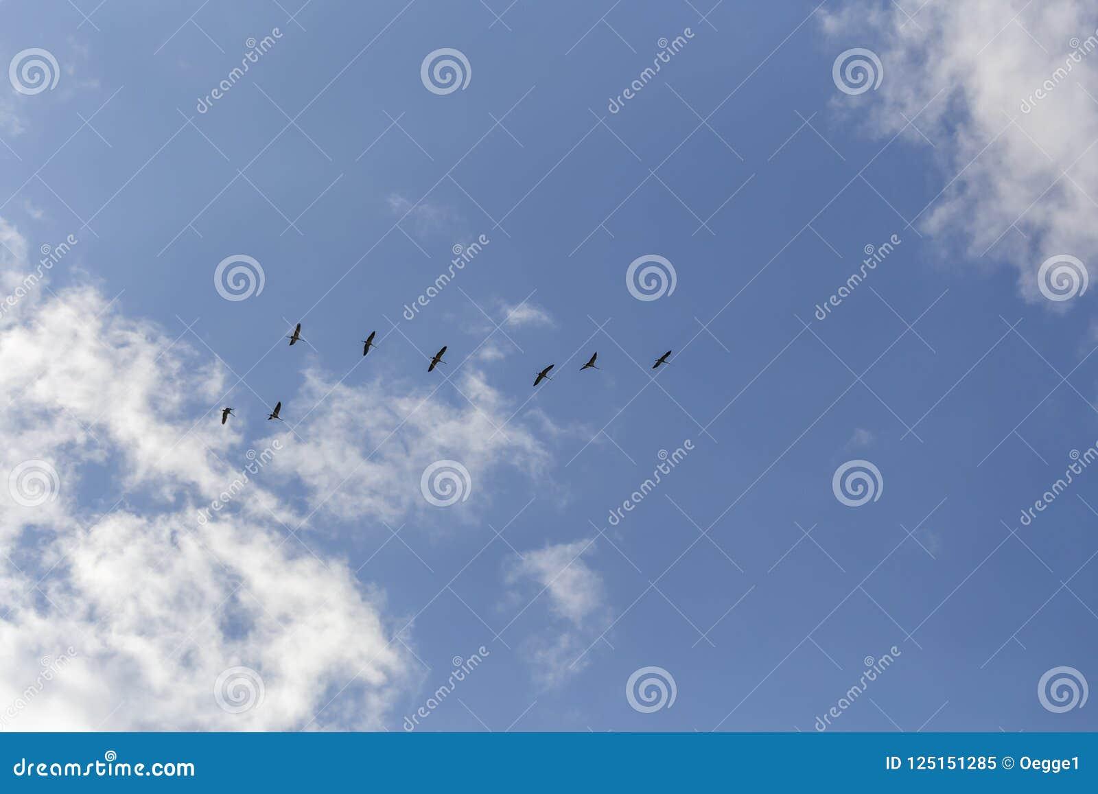 Gru comuni nel cielo