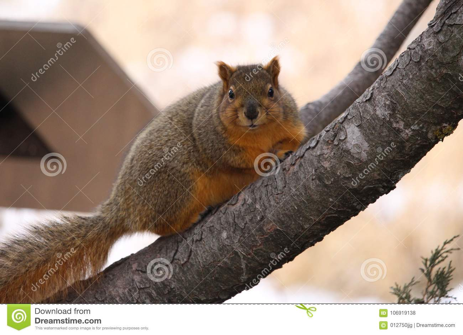Gruba lis wiewiórka w drzewie