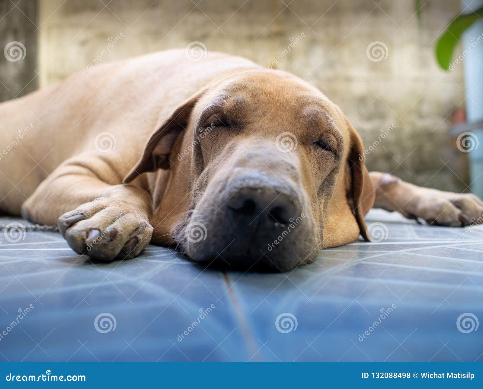 Gruby Brown choroby psa dosypianie