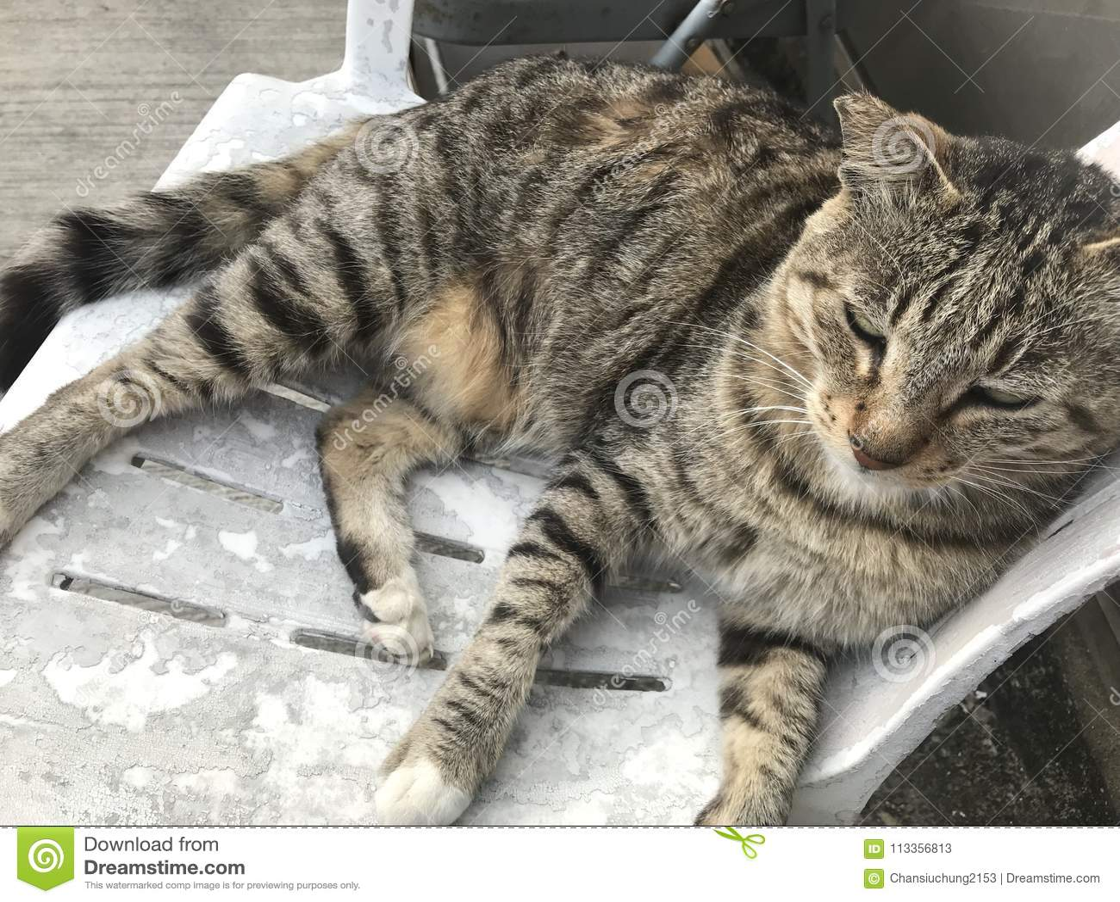 Gruby tomcat
