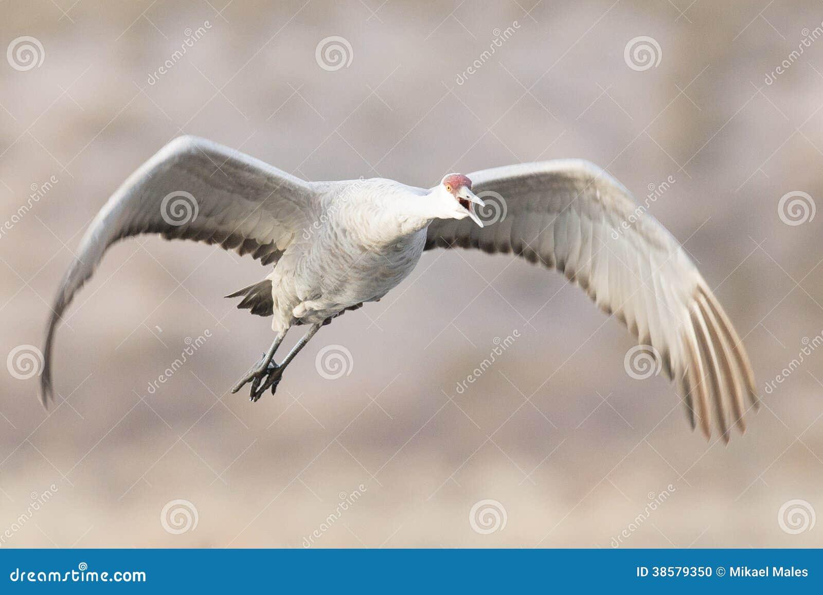 Grue de Sandhill volant au-dessus de l étang
