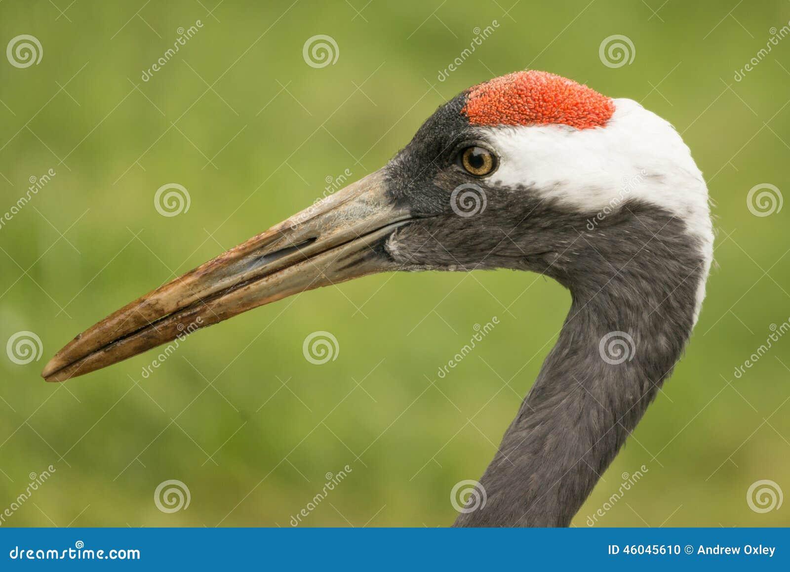 Grue oiseau sauvage grus de grus photo stock image du for Oiseau commun