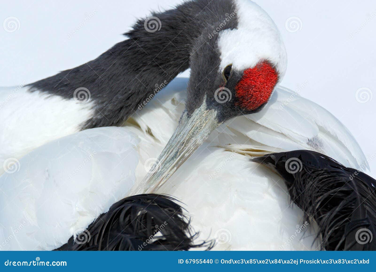 Grue Rouge-couronnée, japonensis de Grus, portrait principal avec le blanc et plumage arrière, scène d hiver, Hokkaido, Japon