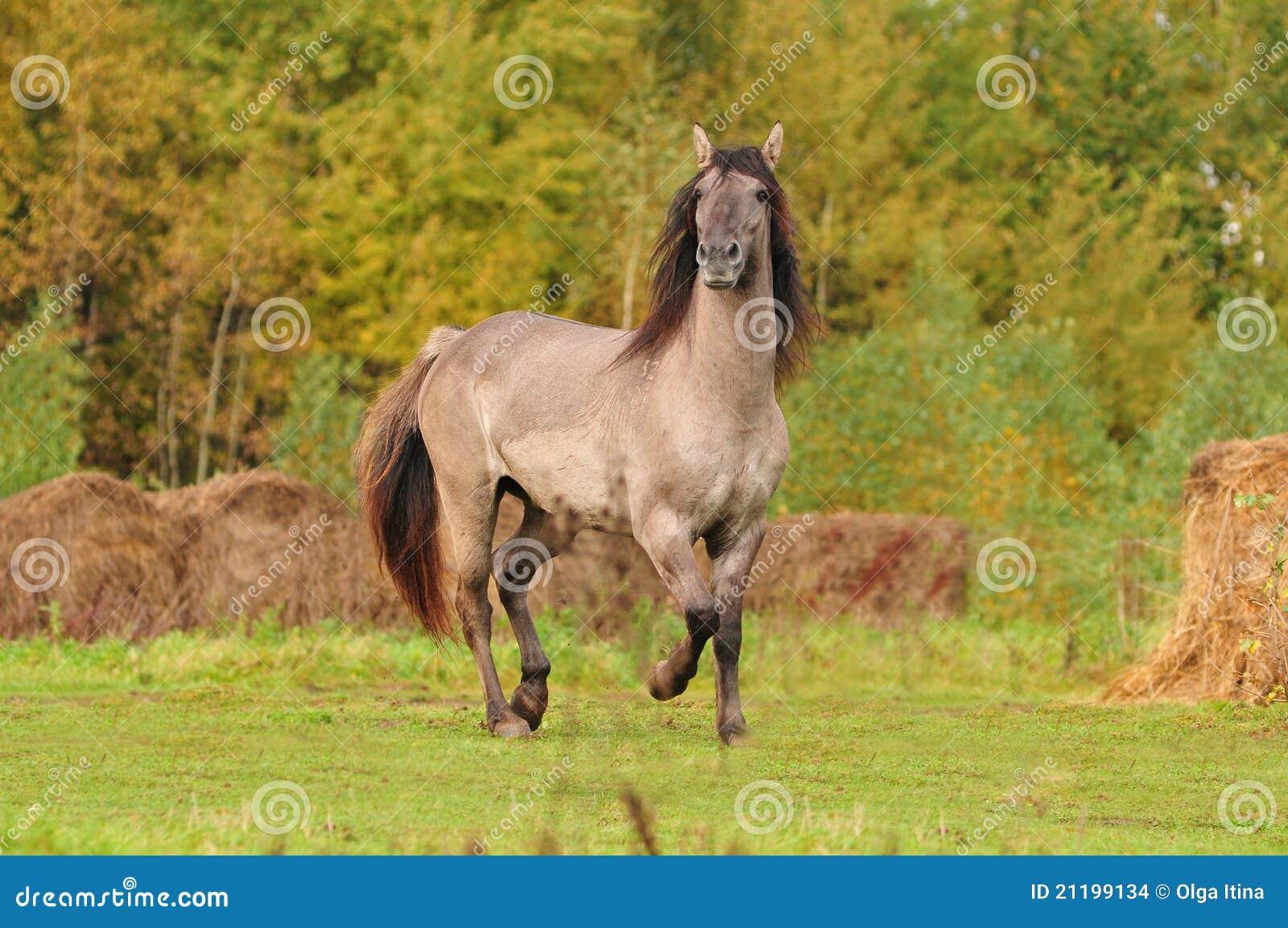 Grullo bashkir horse