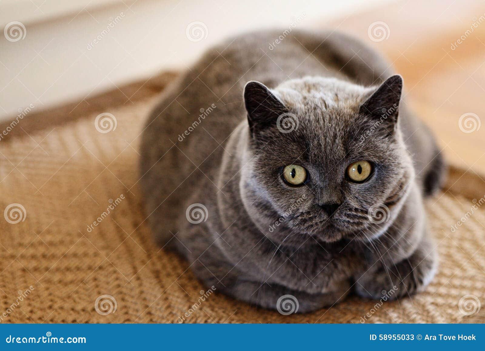 himalayan persian kitten