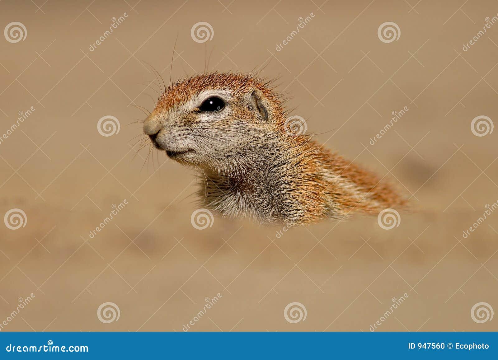 Grundeichhörnchen