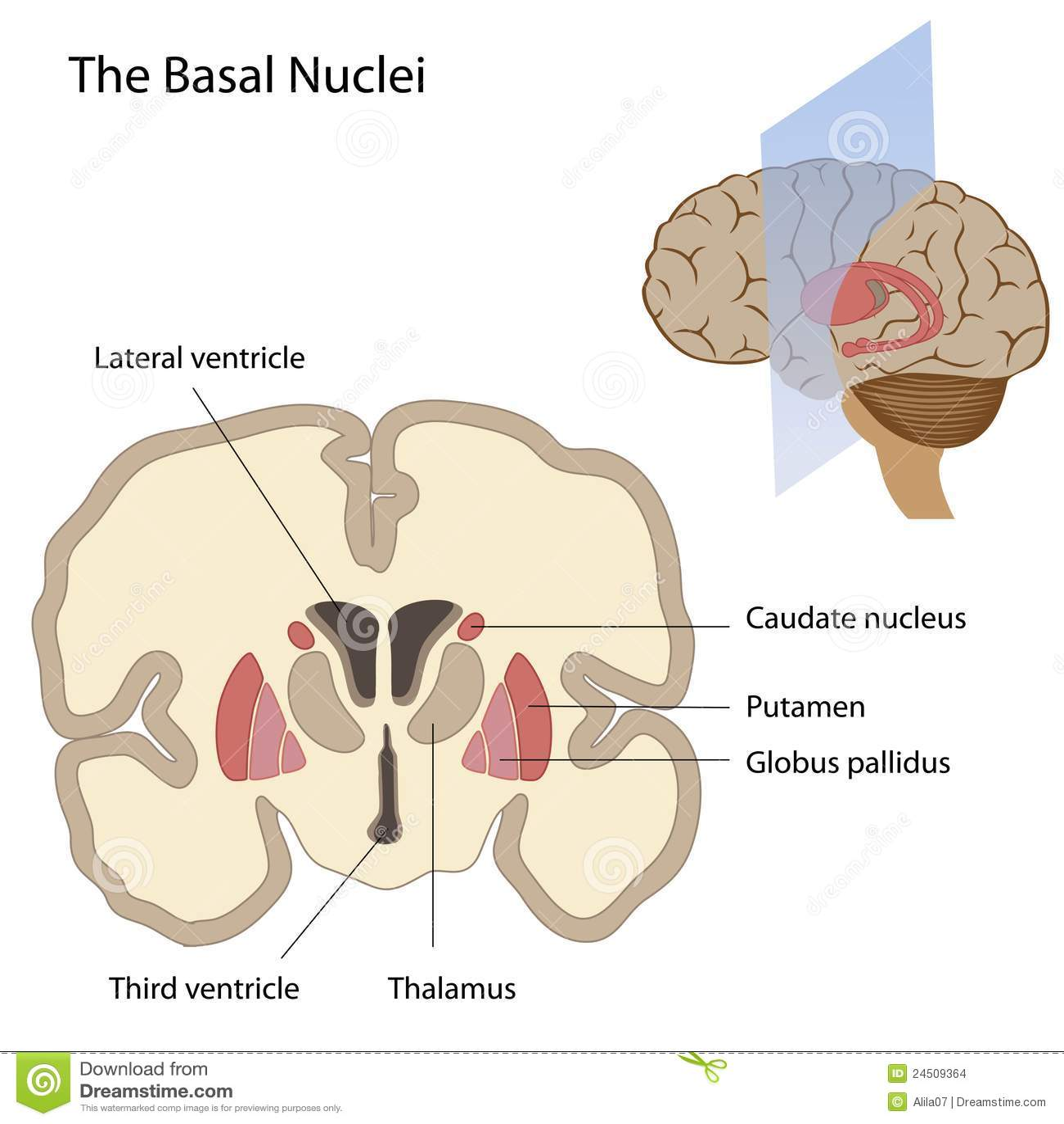 Grundläggande hjärnnuclei
