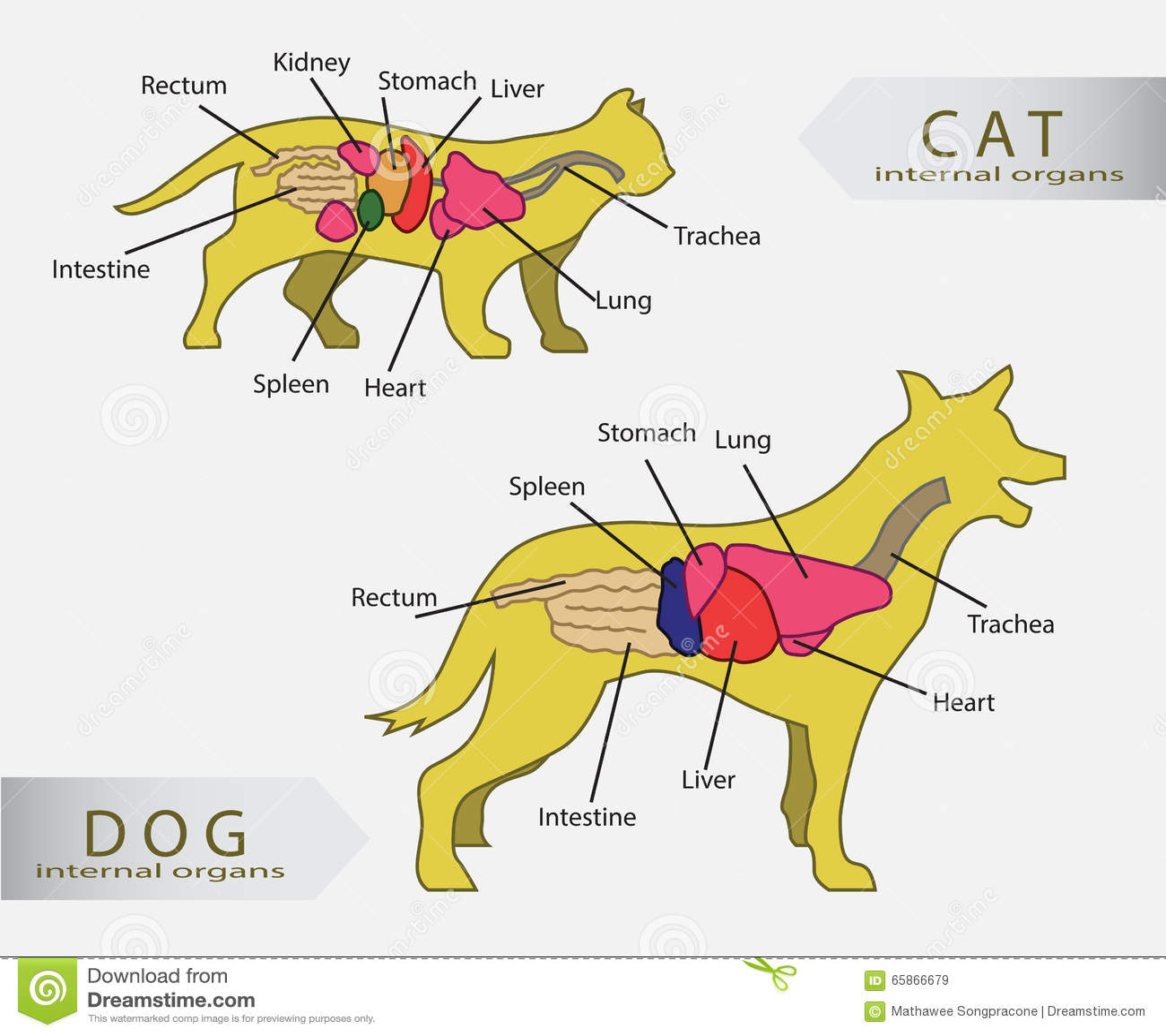 Cat Anatomy - Interne Anatomie Einer Katze Stockbild - Bild von ...