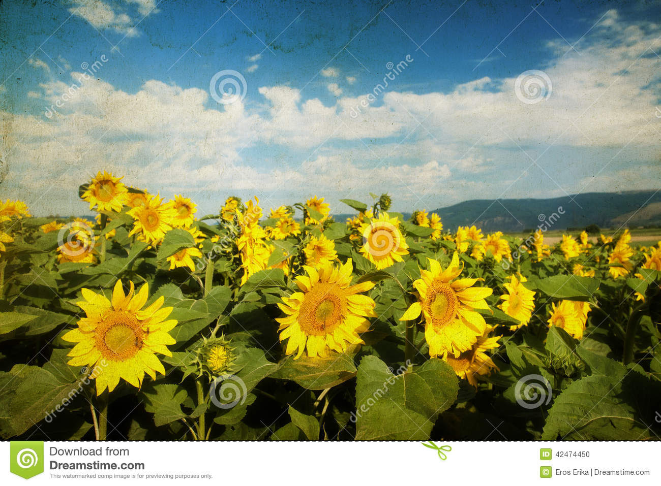 sunflower field picture blooming - photo #19