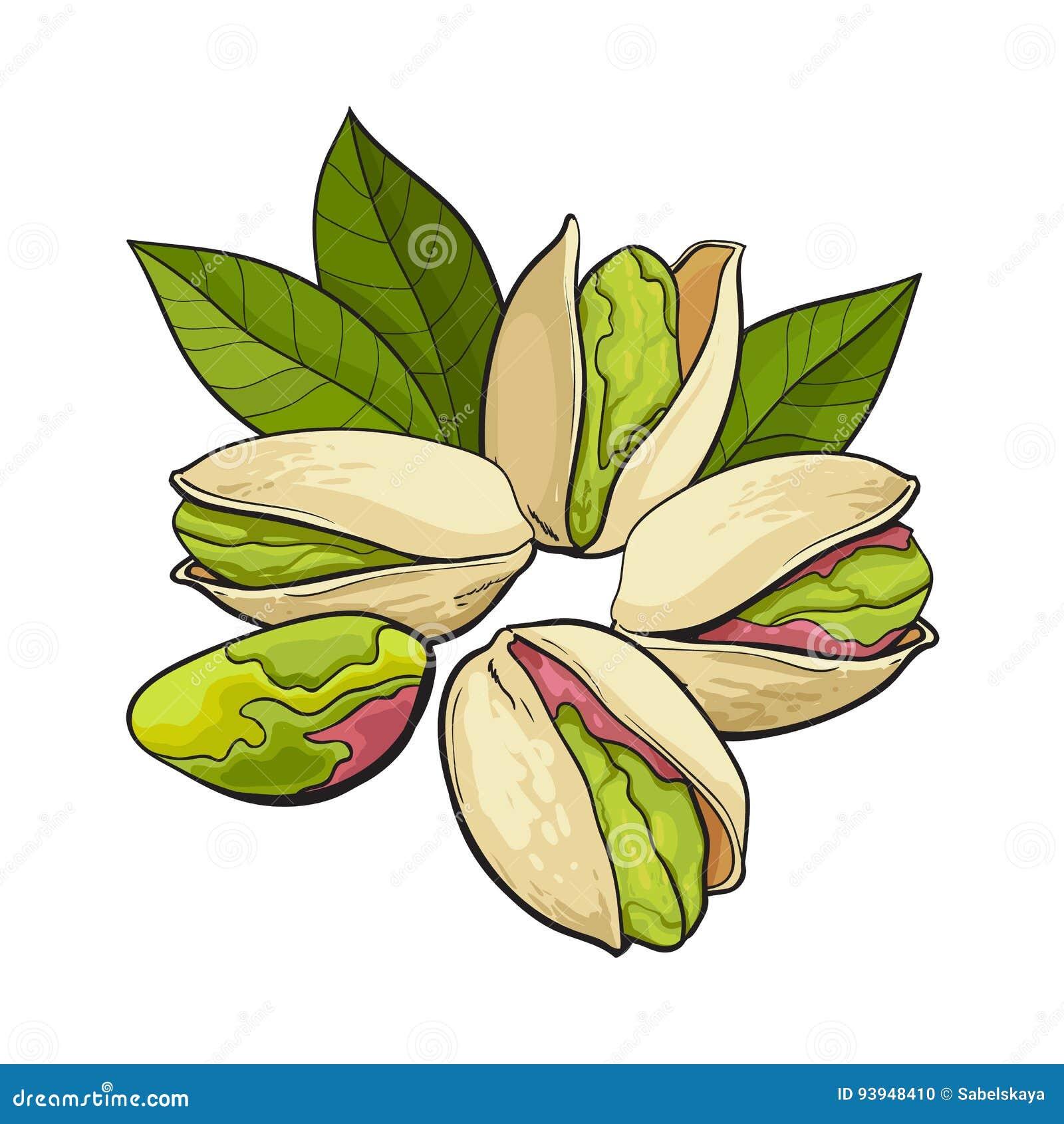 Grupa łuskająca i unshelled pistacjowe dokrętki, nakreślenie wektoru ilustracja