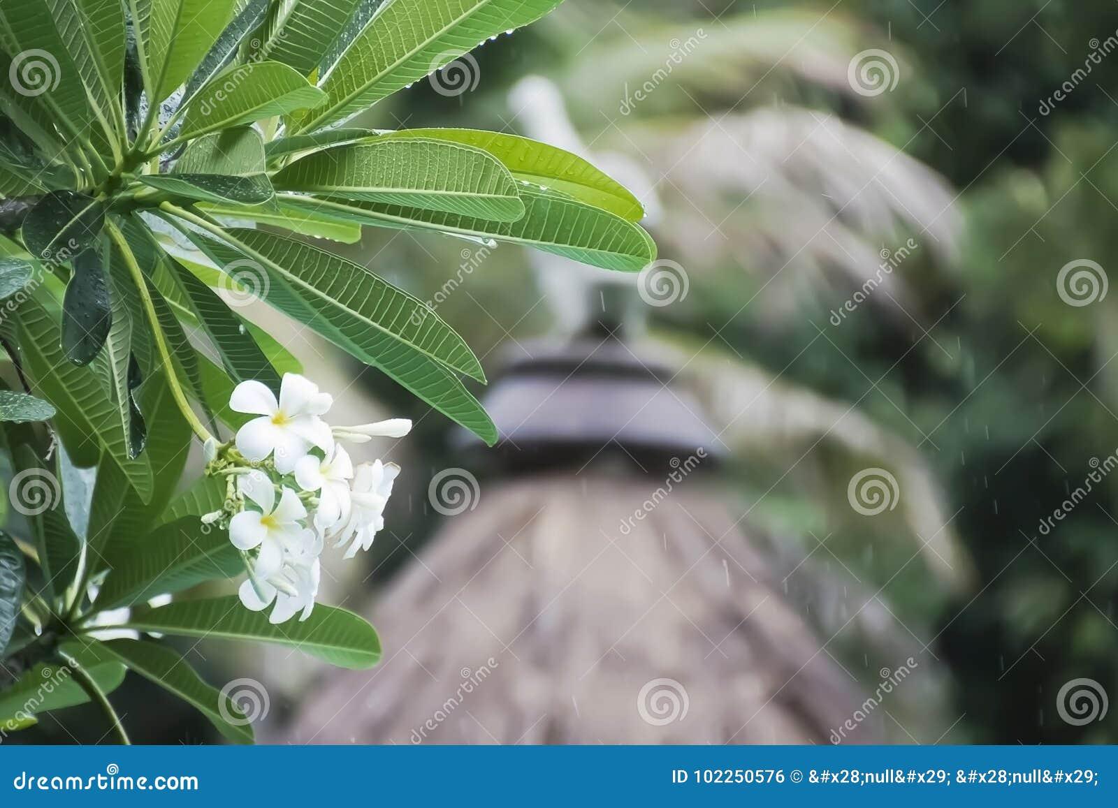 Grupa biały plumeria kwitnie w deszczu