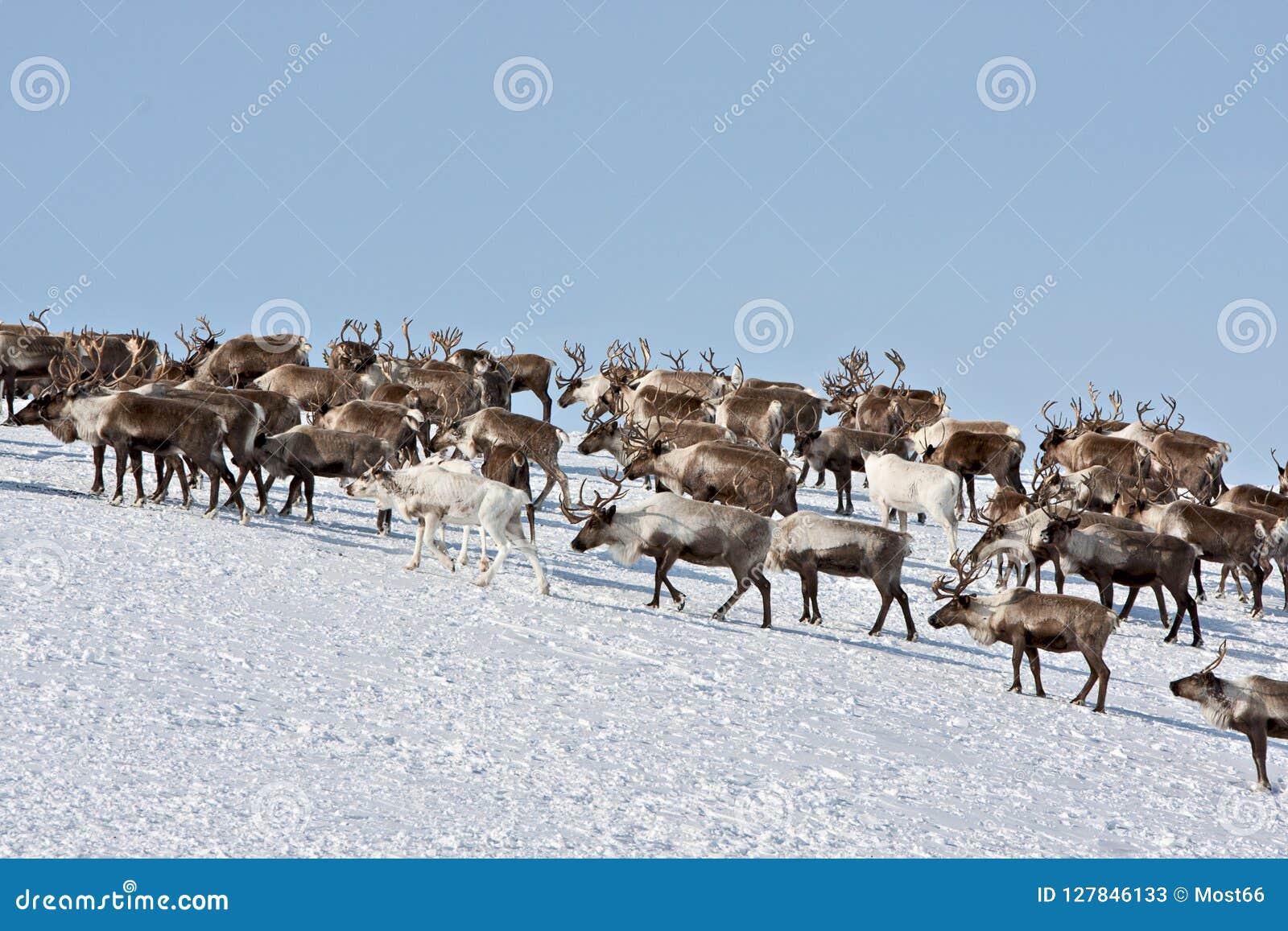 Grupa caribou