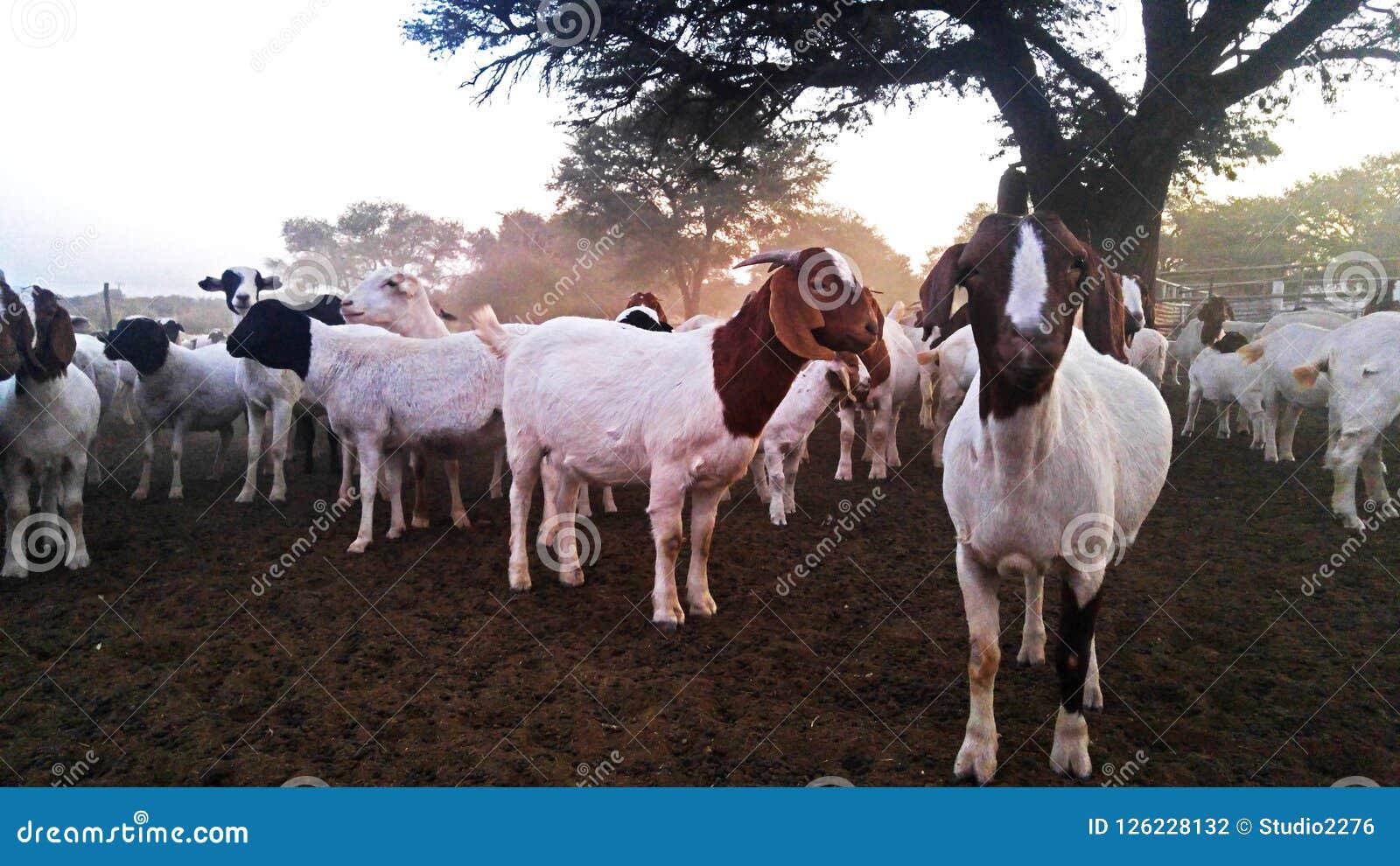 Grupa kózki na gospodarstwie rolnym