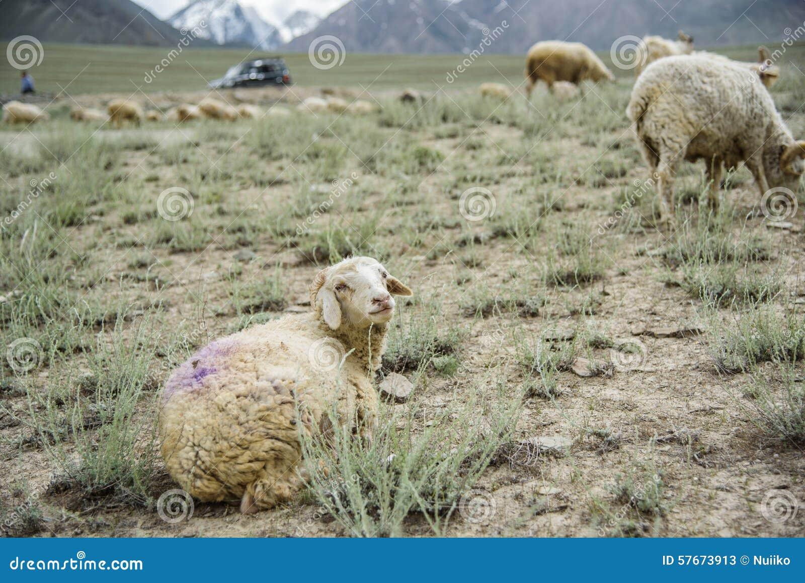 Grupa kózki pole, Padum, Zanskar vally