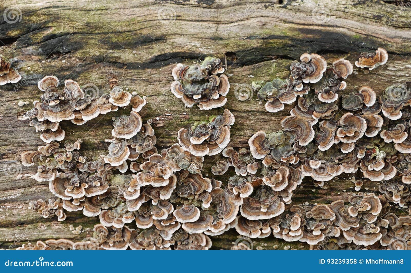 Grupa kolorowe pieczarki trametes versicolor, w ten sposób - nazwany indyczy ogon - grzybowa kolonia na drewnianej powierzchni -