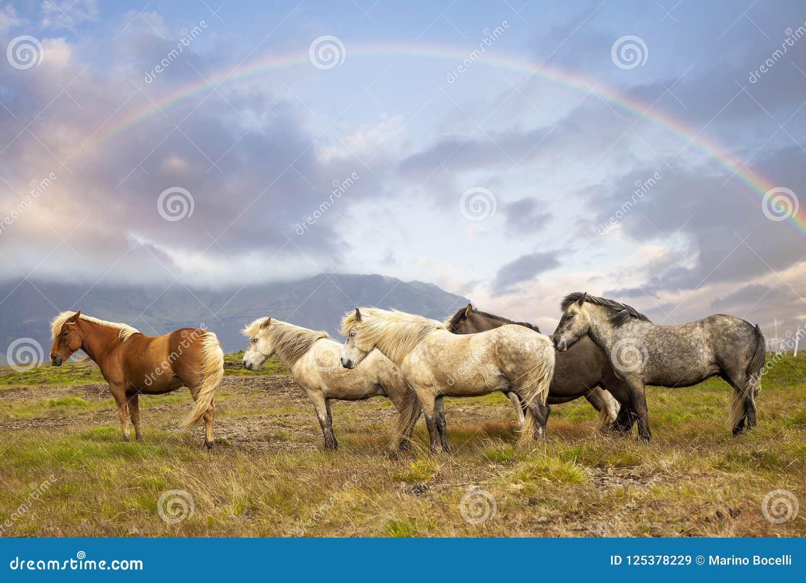 Grupa konie podczas gdy pasający w Iceland równinie