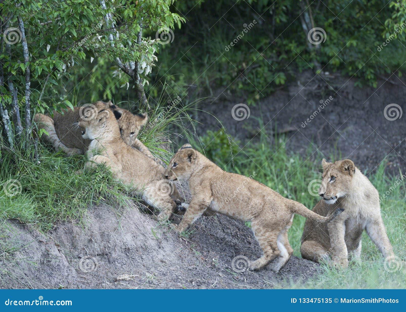 Grupa lwów lisiątka próbuje wspinać się skały