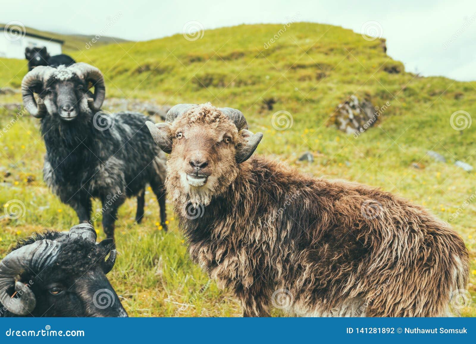 Grupa męscy sheeps z dużym rogiem na zielonej trawy wzgórzu w gospodarstwie rolnym, chmurna pogoda w Faroe wyspach, północnego at