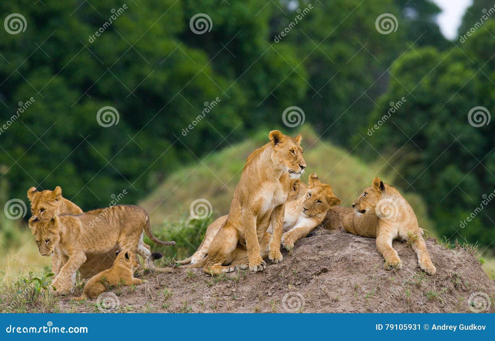 Grupa młodzi lwy na wzgórzu Park Narodowy Kenja Tanzania mara masajów kmieć