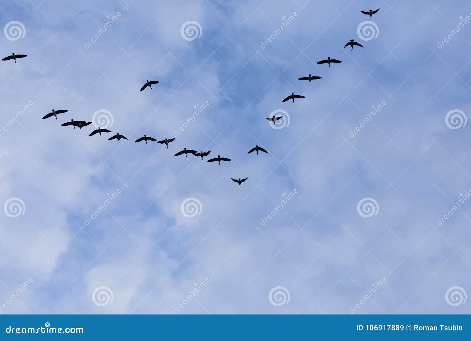 Grupa migrowanie gąsek ptaki