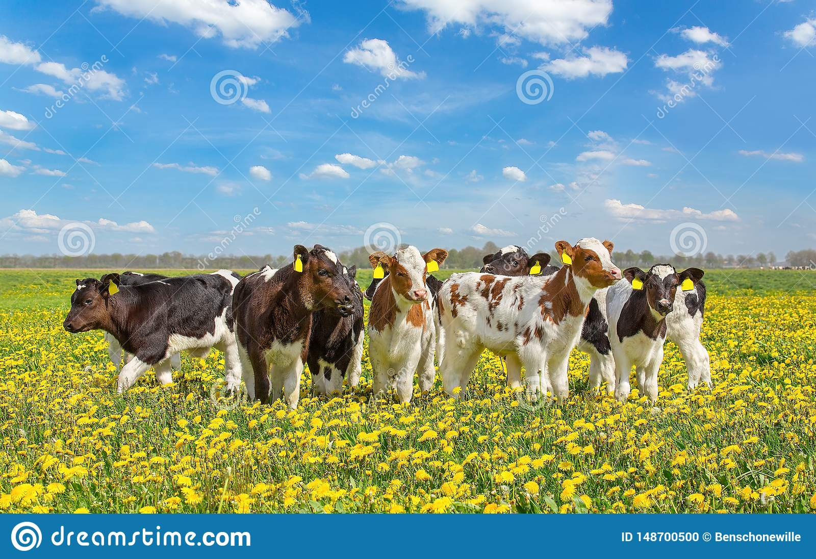 Grupa nowonarodzone łydki wpólnie w łące z dandelions