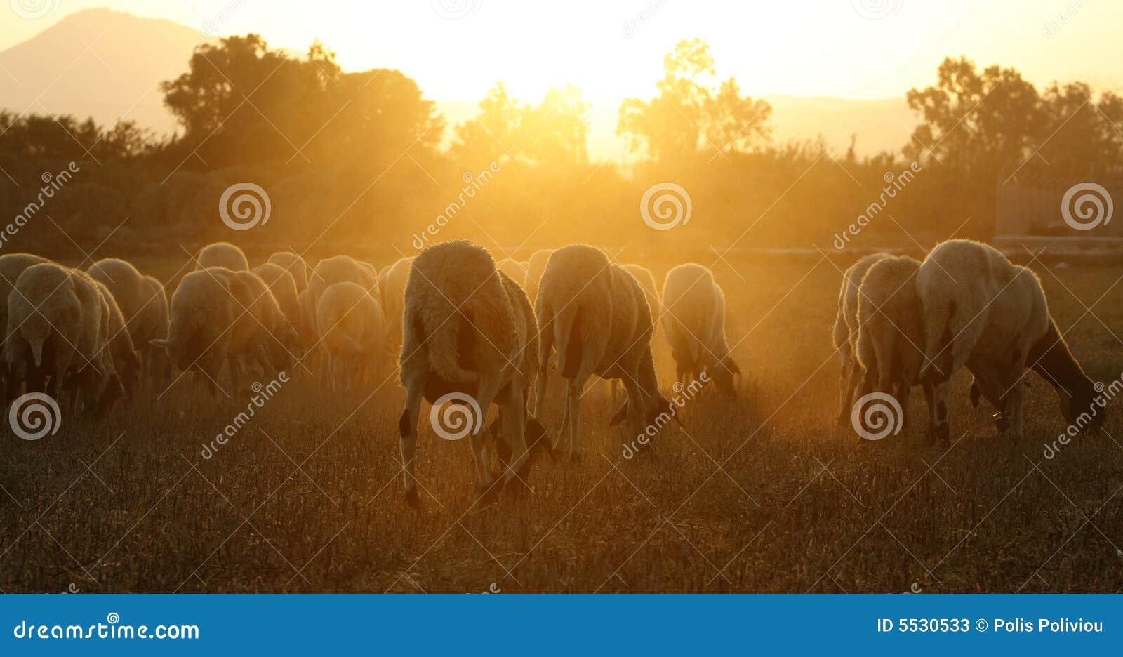 Grupa owcze
