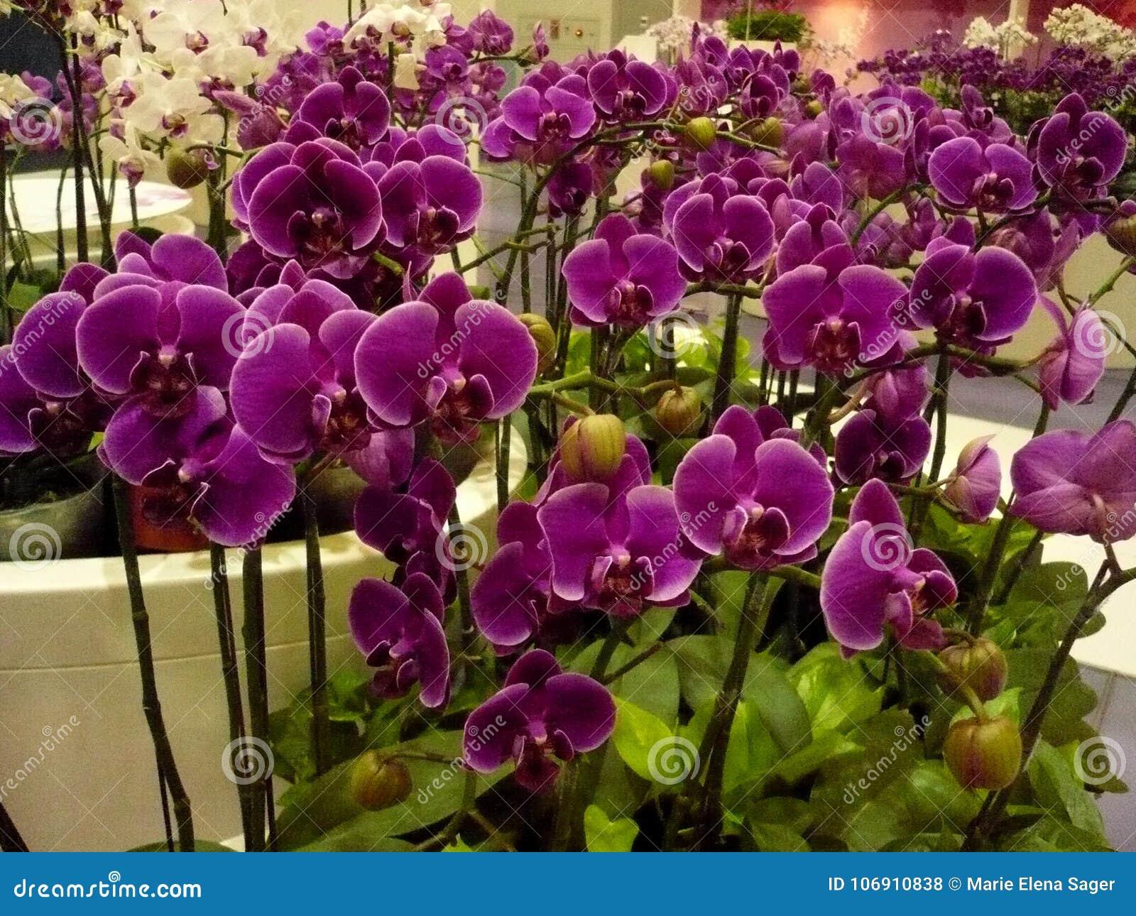 Grupa Purpurowe orchidee