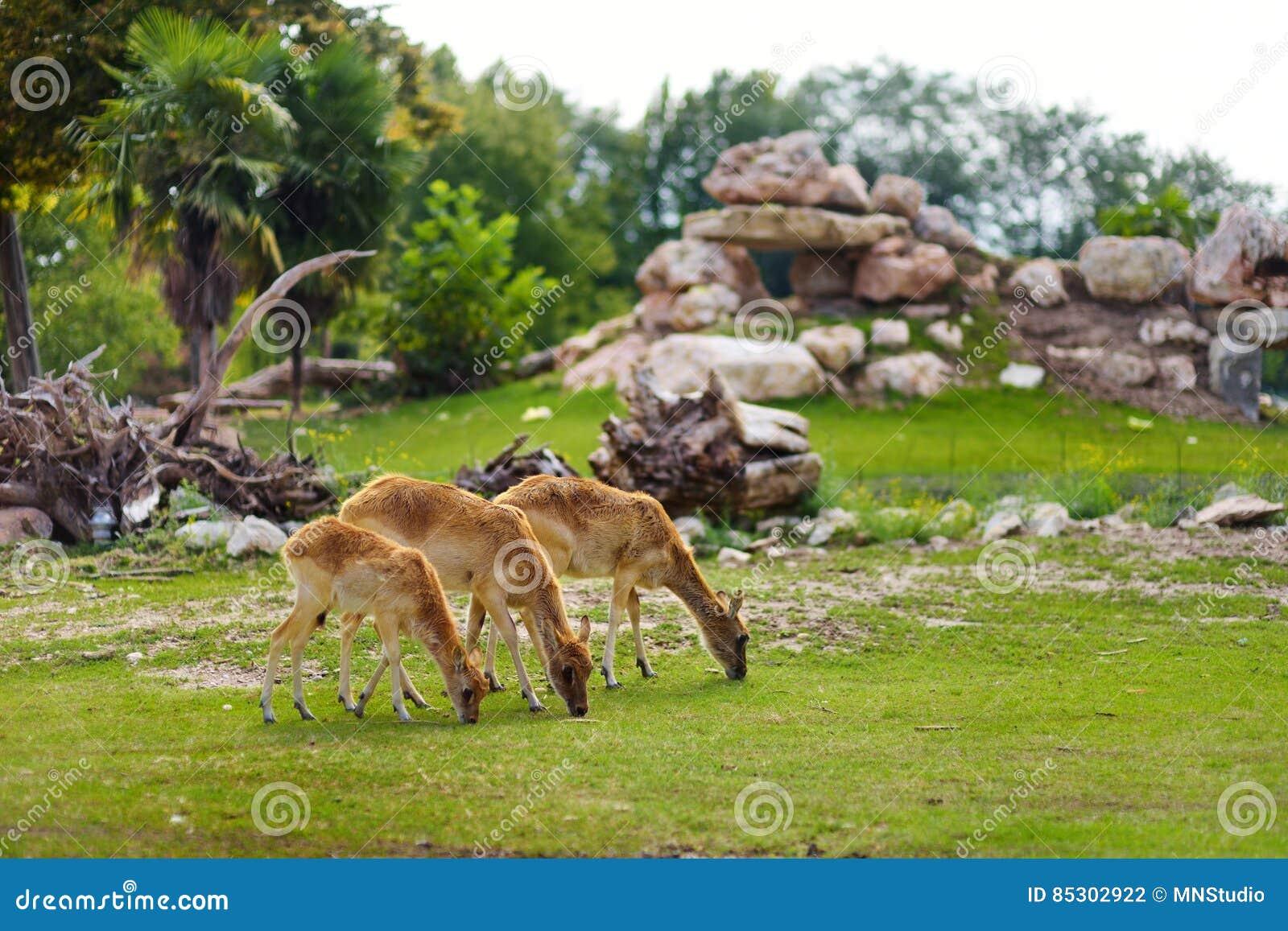 Grupa trzy deers karmi w Parco Natura Viva zoo blisko Garda jeziora