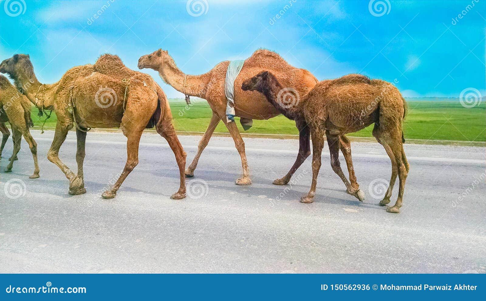 Grupa wielbłądy chodzi na autostradzie, droga