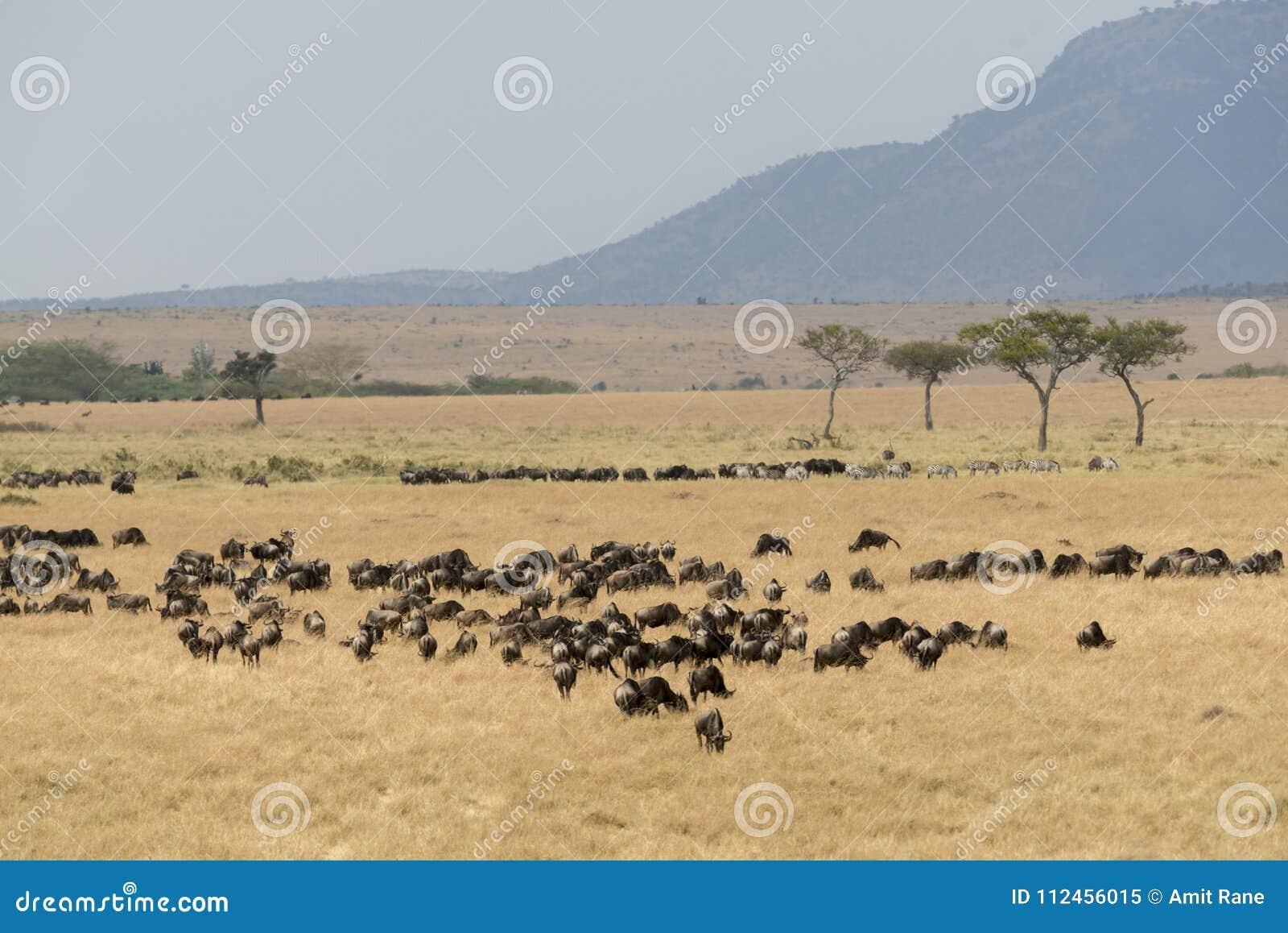 Grupa wildebeest przy Masai Mara