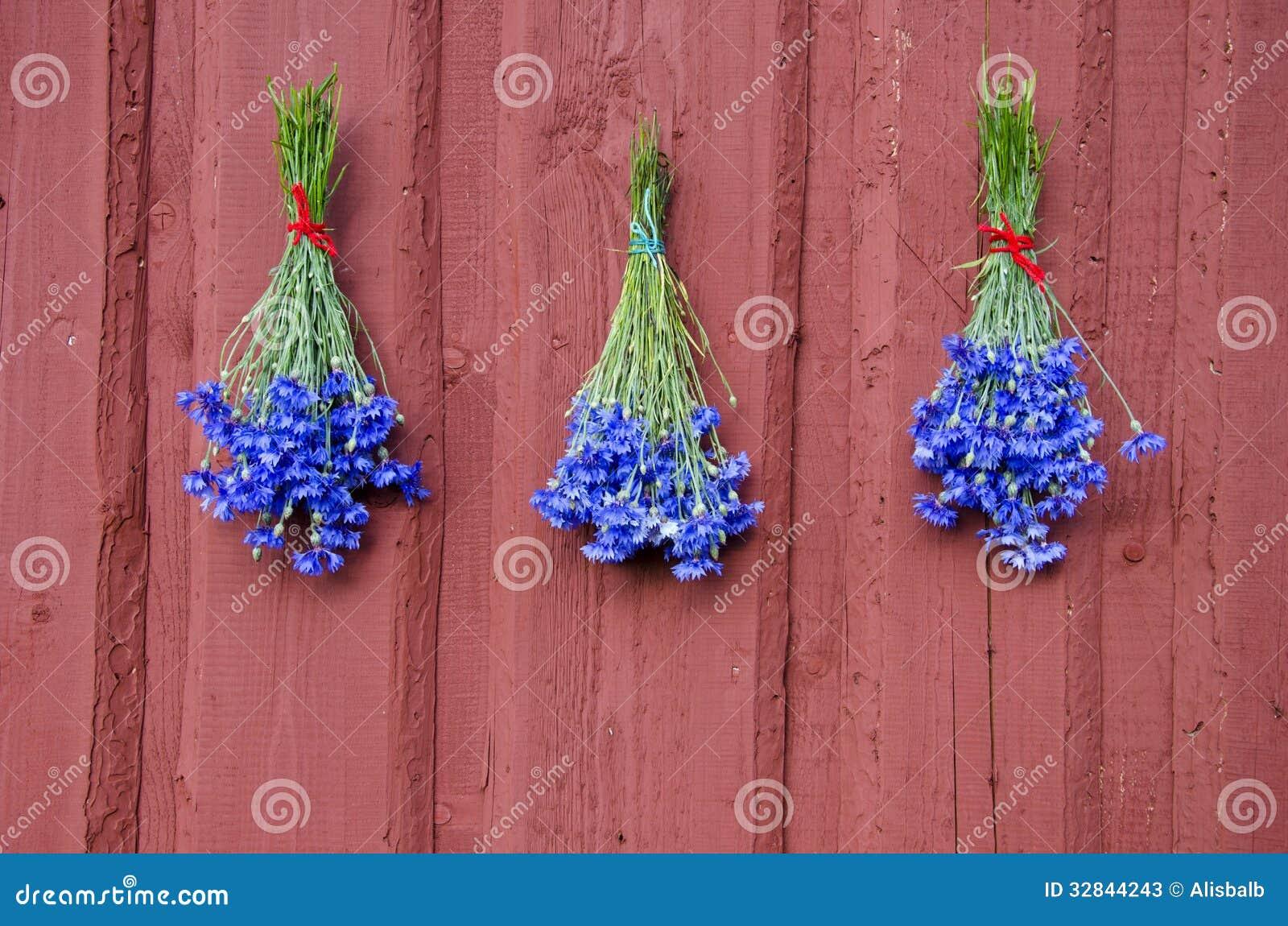 Grupo da centáurea de três azuis na parede vermelha da casa
