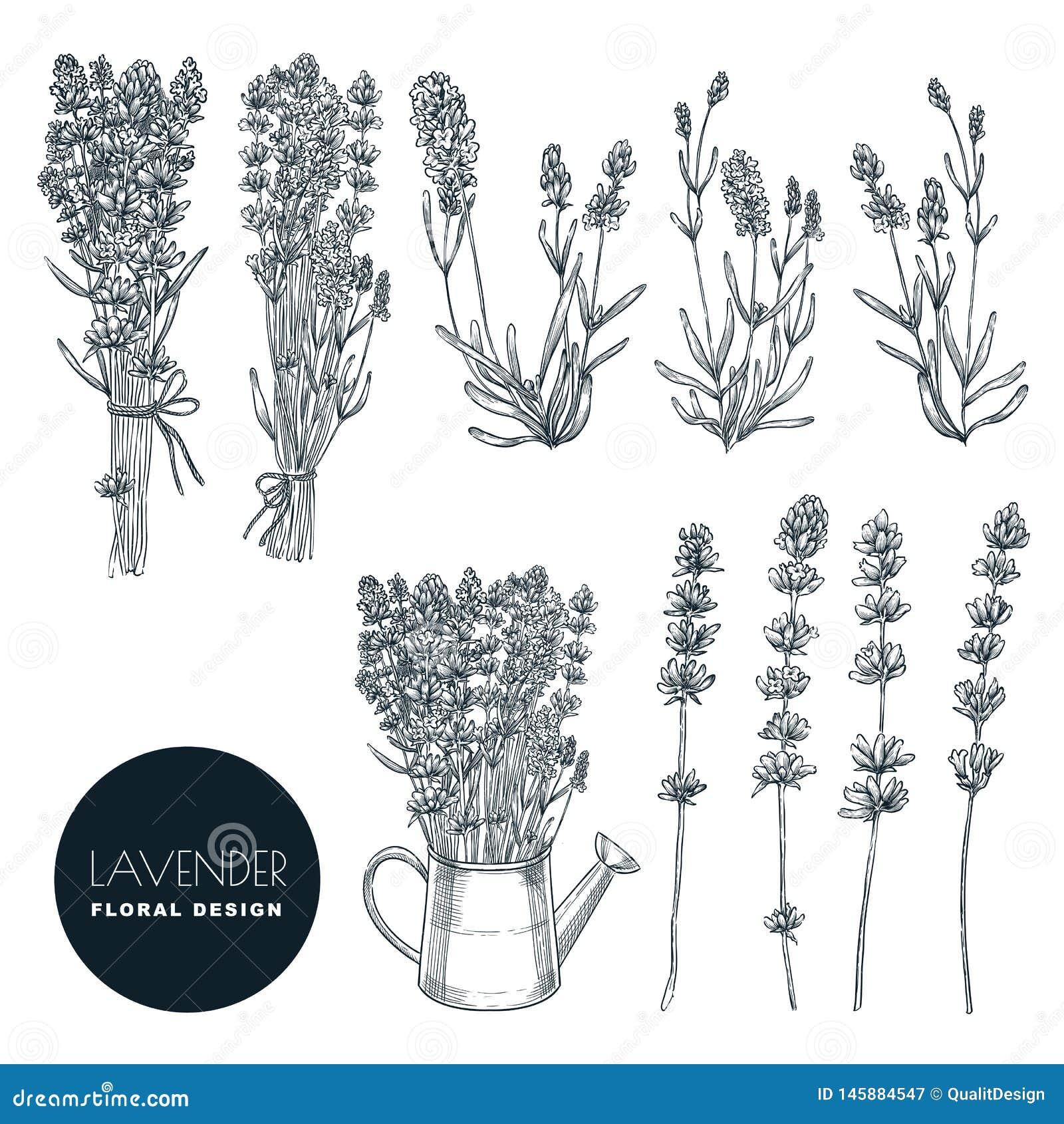 Grupo da flor da alfazema, ilustração do esboço do vetor Ramalhete tirado mão, elementos do design floral isolados no fundo branc