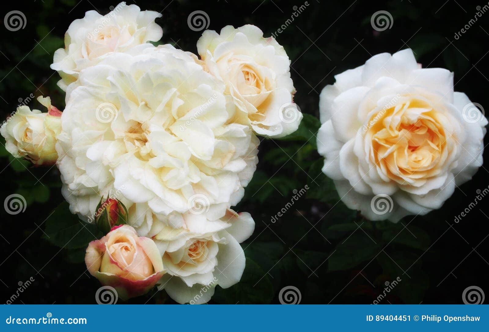 Grupo das rosas brancas