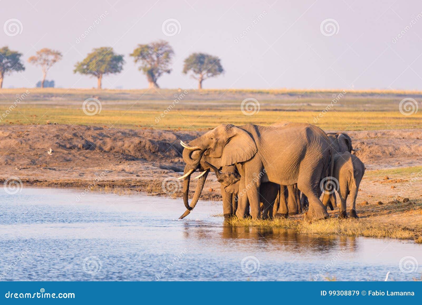 Grupo de água potável dos elefantes africanos do rio de Chobe no por do sol O safari e o barco dos animais selvagens cruzam no pa