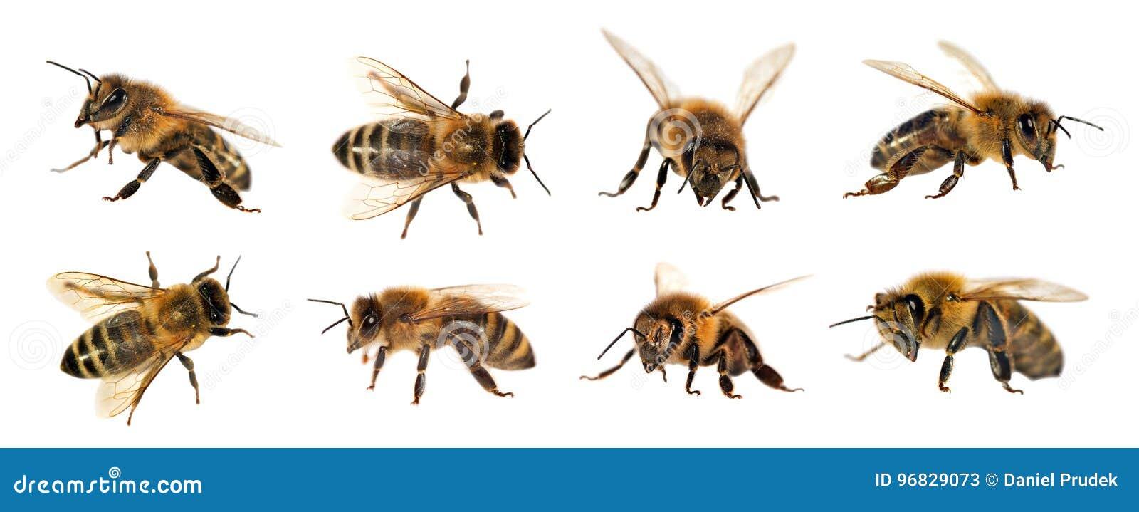 Grupo de abeja o de abeja en el fondo blanco, abejas de la miel