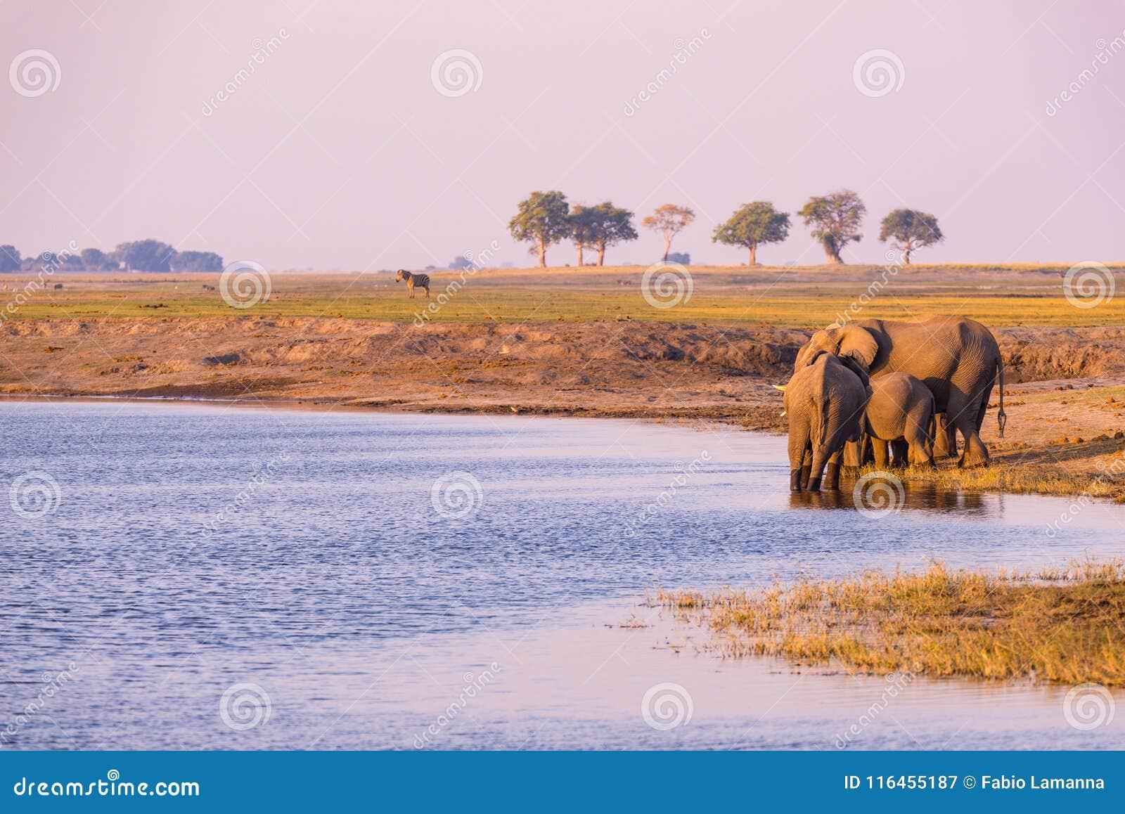Grupo de agua potable de los elefantes africanos del río de Chobe en la puesta del sol El safari y el barco de la fauna cruzan en