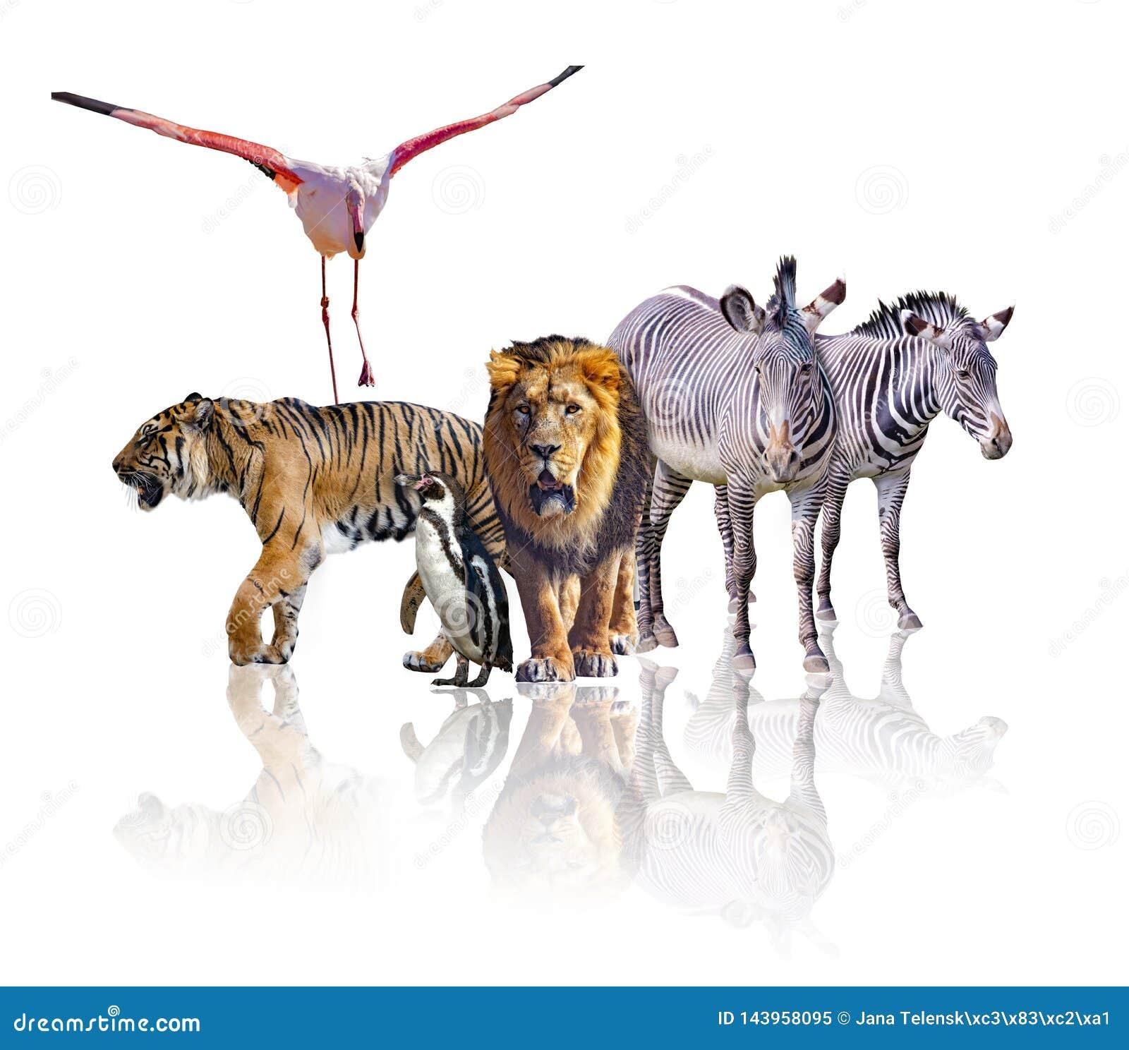 Grupo de animales africanos del safari que caminan junto Se a?sla en el fondo blanco Refleja su imagen Hay