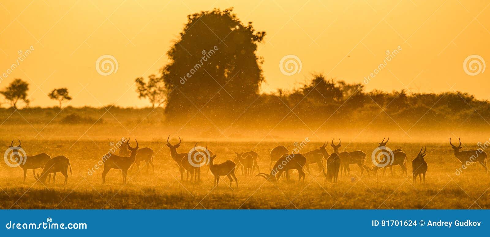 Grupo de antílope no por do sol Close-up botswana Delta de Okavango
