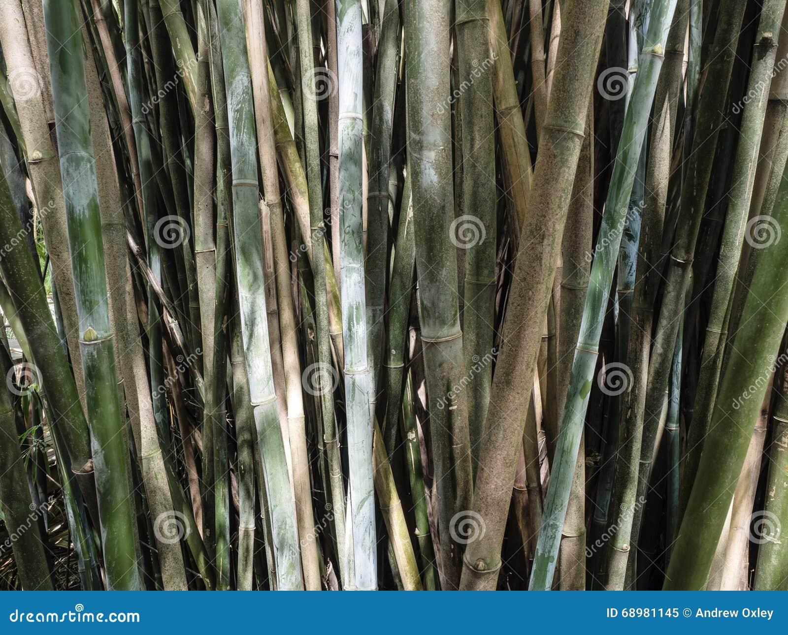 Grupo de bambú del bastón