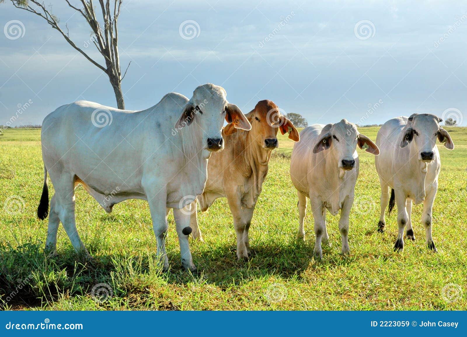 Grupo de brahmans
