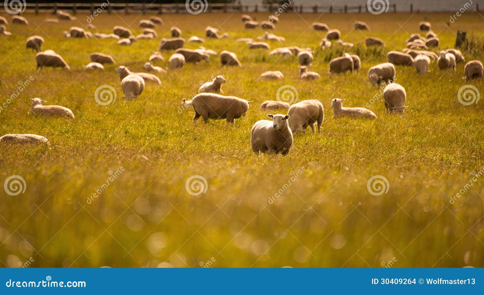 Grupo de carneiros na exploração agrícola, ilha sul, Nova Zelândia