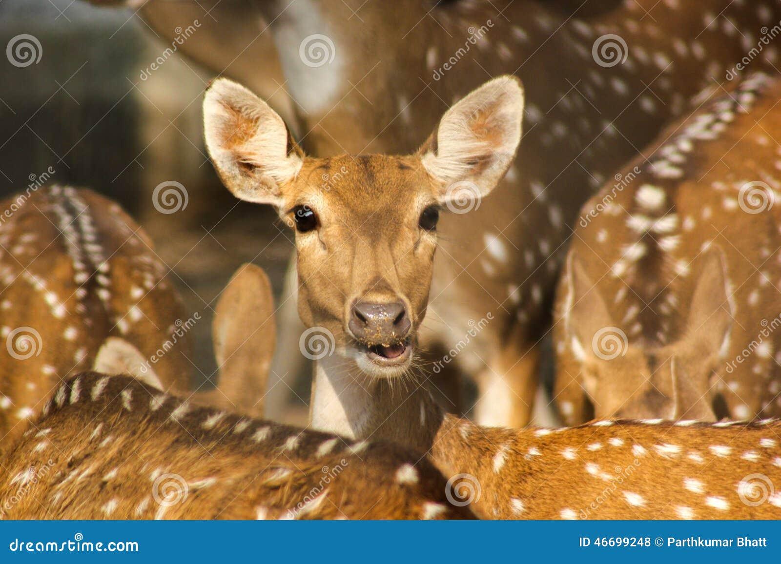 Grupo de cervos do indiano Spotted