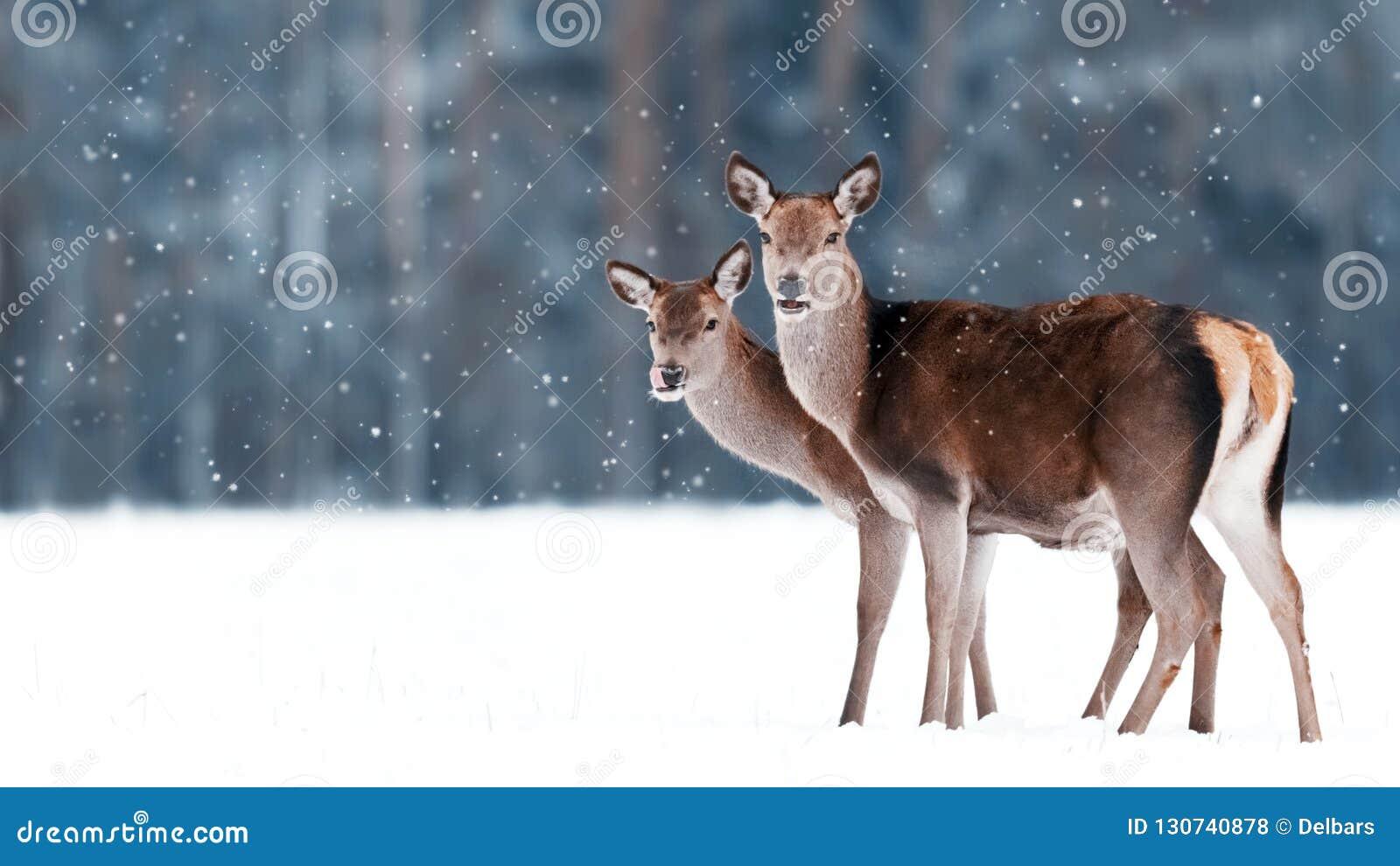 Grupo de cervos graciosos fêmeas bonitos no fundo de um elaphus nobre do Cervus dos cervos da floresta nevado do inverno