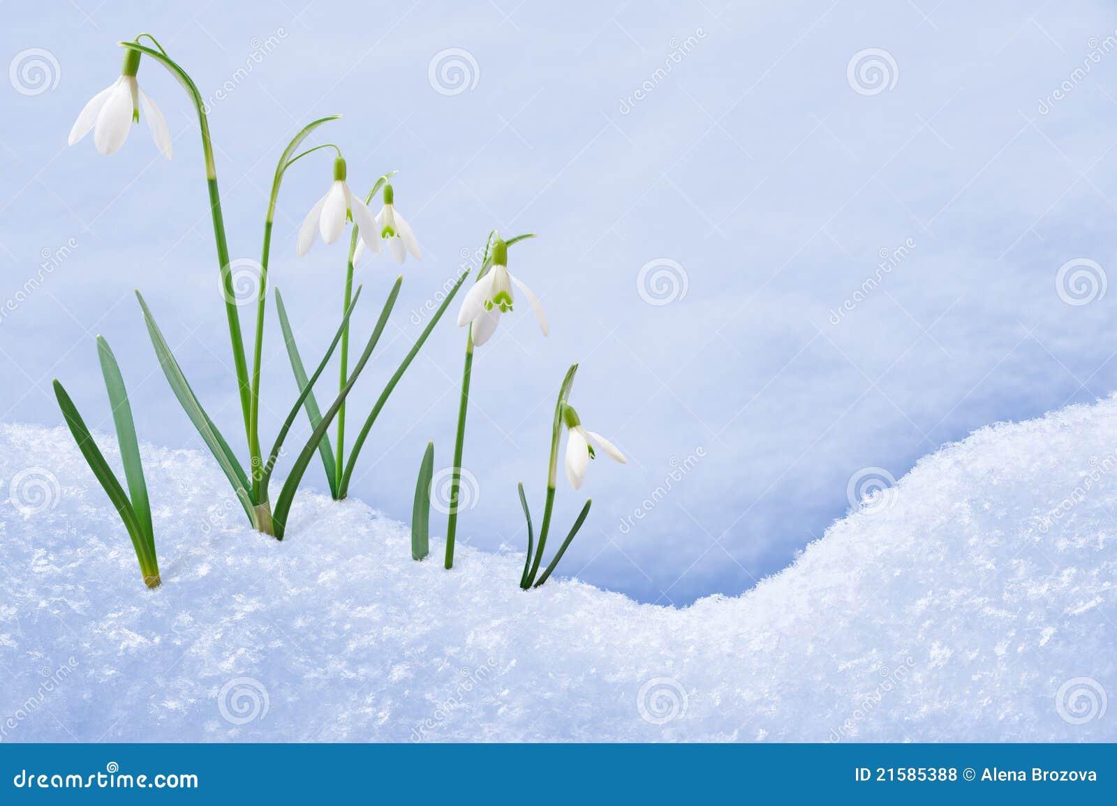 Grupo de crescimento de flores do snowdrop na neve