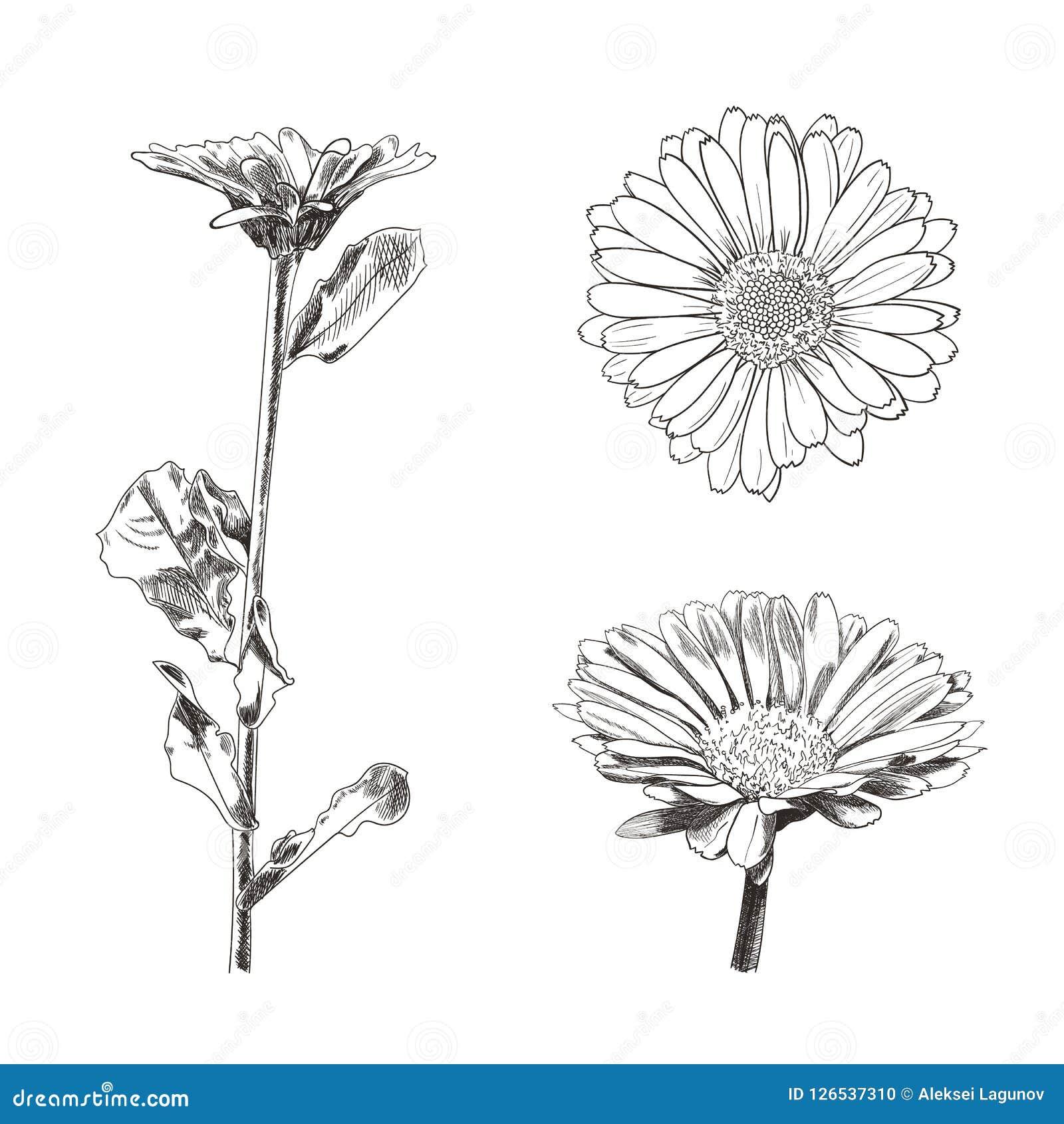 Grupo de desenhos das flores, esboços botânicos do vetor do estilo isolados