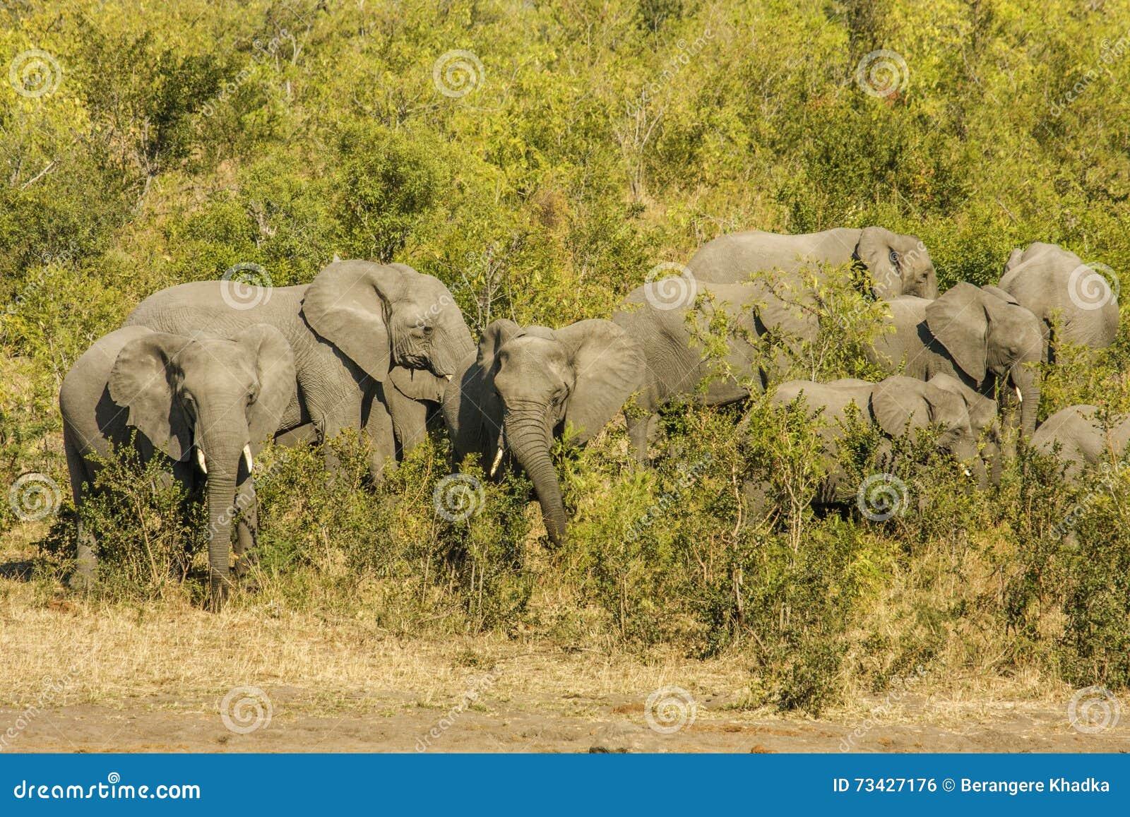Grupo de elefantes africanos selvagens do arbusto, no parque de Kruger