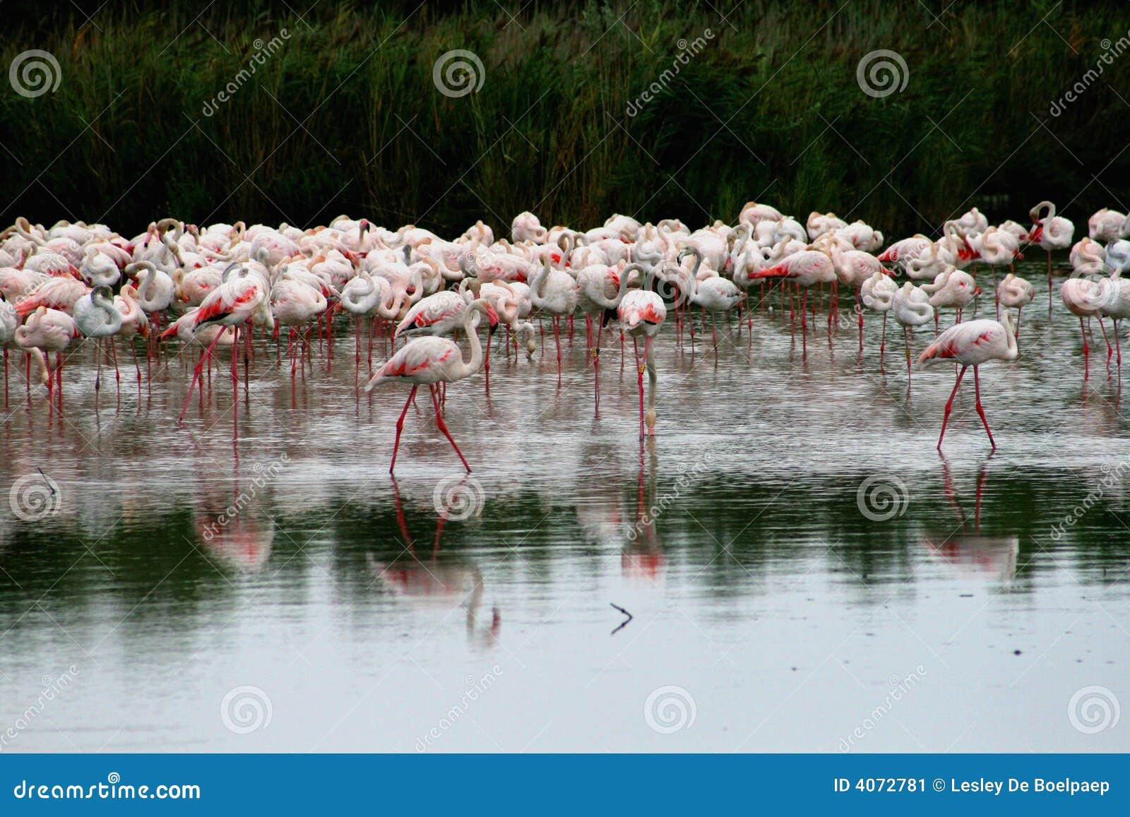 Grupo de flamingo