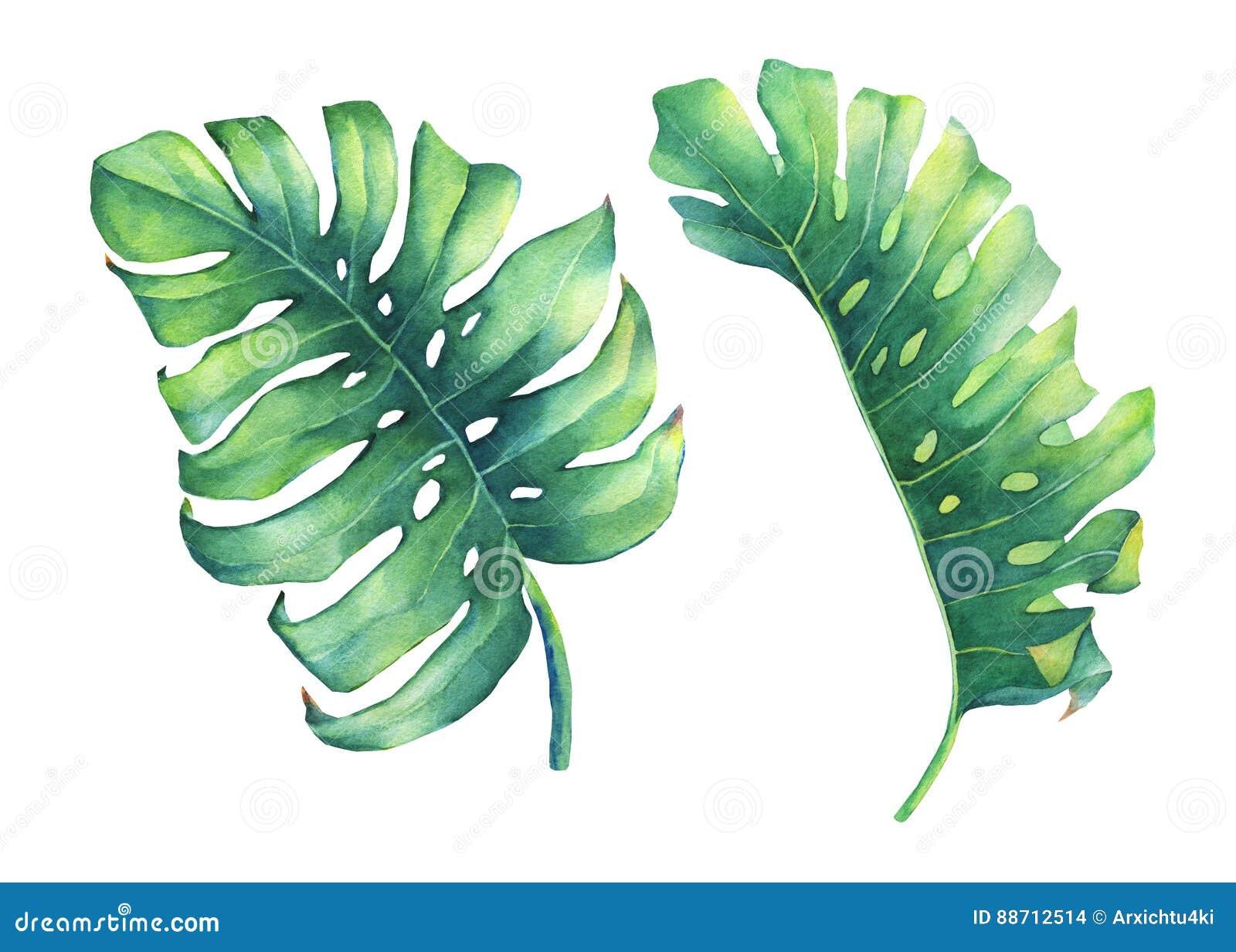 Grupo de folha verde tropical grande da planta de Monstera