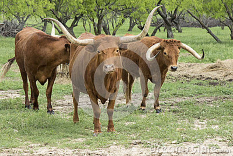 Grupo de gado do longhorn de Texas